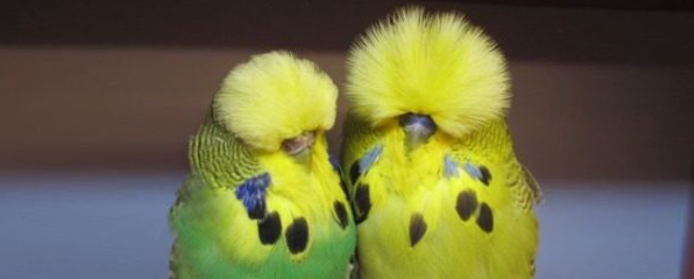 Ipswich Budgerigar Society